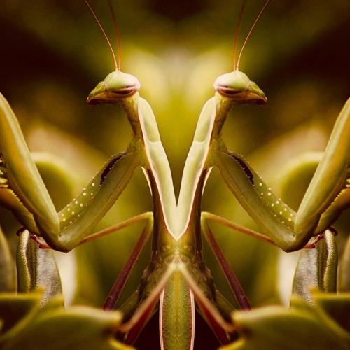 Mantis (Banyan Records)'s avatar