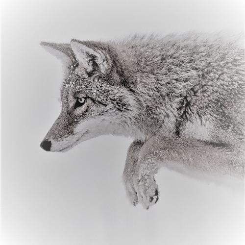Coyote Noises