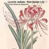 Lycoris the flower