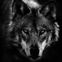 WolfeHound