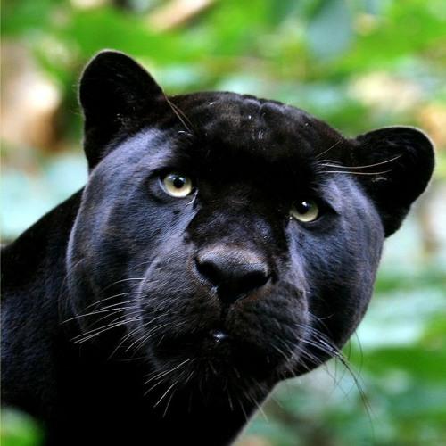 pantherslair's avatar