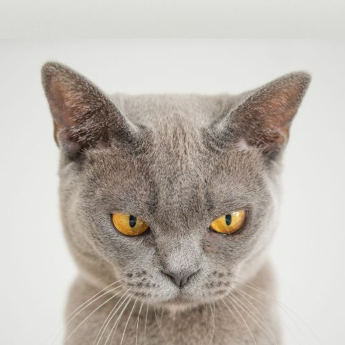 angry cat's avatar