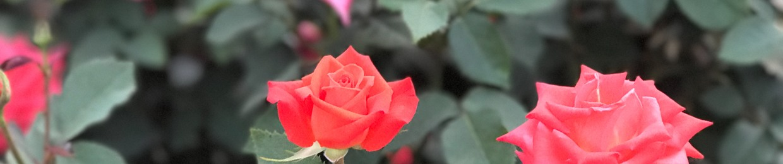 Love La Rose