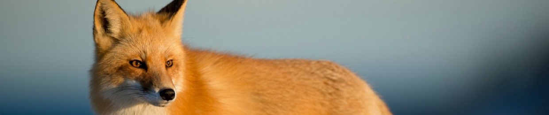 Foxy 🦊