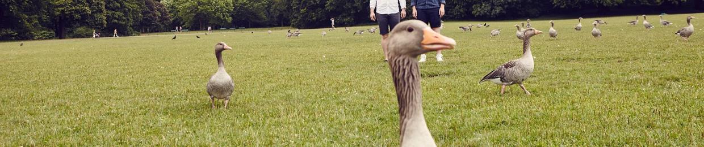 Sum Gooses